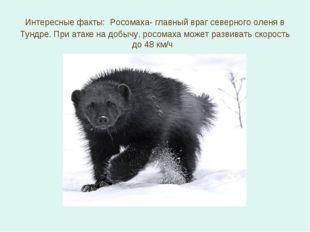 Интересные факты: Росомаха- главный враг северного оленя в Тундре. При атаке
