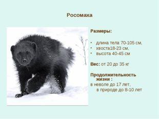 Росомаха Размеры: длина тела 70-105 см, хвоста18-23 см, высота 40-45 см Вес: