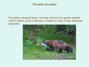 Питание росомах Росомаха- хищный зверь, поэтому охотится на других зверей. Лю