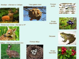 Изюбри - обитают в Сибири Пятнистые олени- обитают в УР Речная рыба Зайцы - о