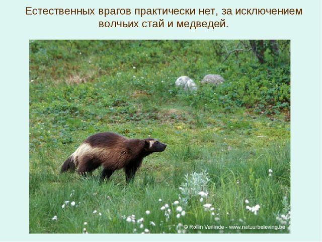 Естественных врагов практически нет, за исключением волчьих стай и медведей.
