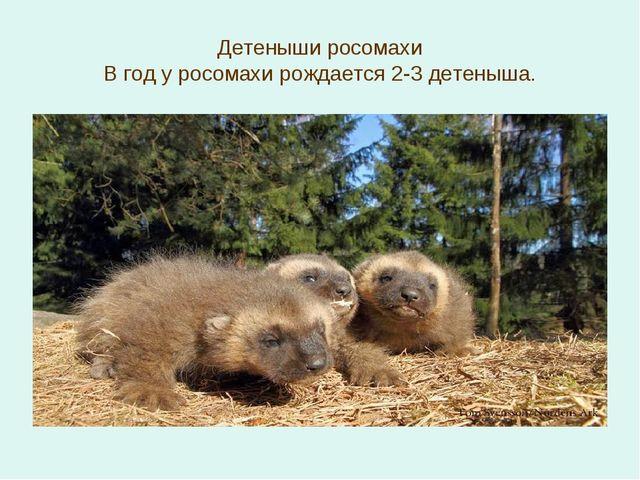 Детеныши росомахи В год у росомахи рождается 2-3 детеныша.