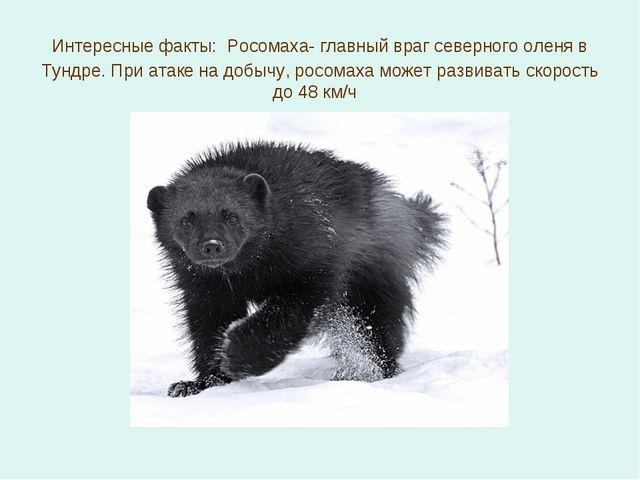 Интересные факты: Росомаха- главный враг северного оленя в Тундре. При атаке...