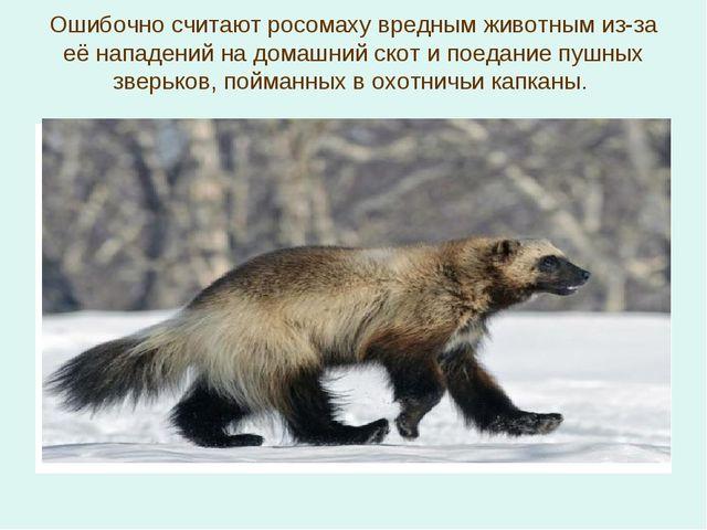 Ошибочно считают росомаху вредным животным из-за её нападений на домашний ско...