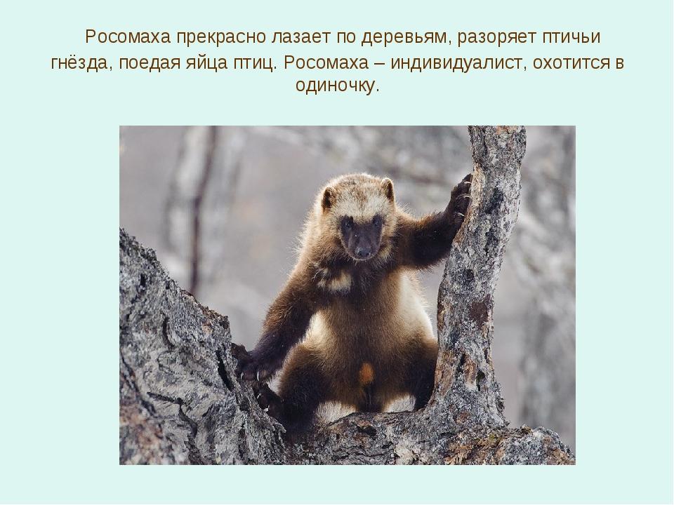 Росомаха прекрасно лазает по деревьям, разоряет птичьи гнёзда, поедая яйца п...