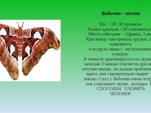 Бабочка – атлас Вес – 20 -30 граммов. Размах крыльев - 30 сантиметров. Место