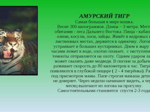АМУРСКИЙ ТИГР Самая большая в мире кошка. Весит 300 килограммов. Длина – 3 ме