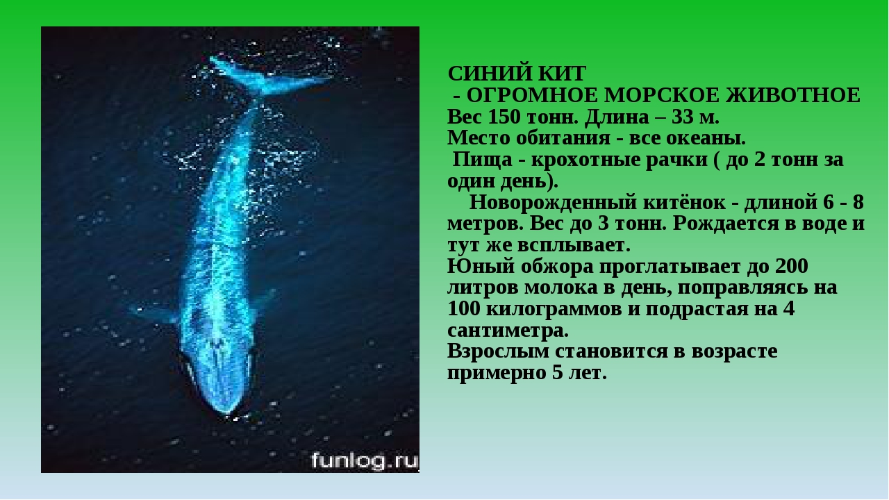 СИНИЙ КИТ - ОГРОМНОЕ МОРСКОЕ ЖИВОТНОЕ Вес 150 тонн. Длина – 33 м. Место обита...