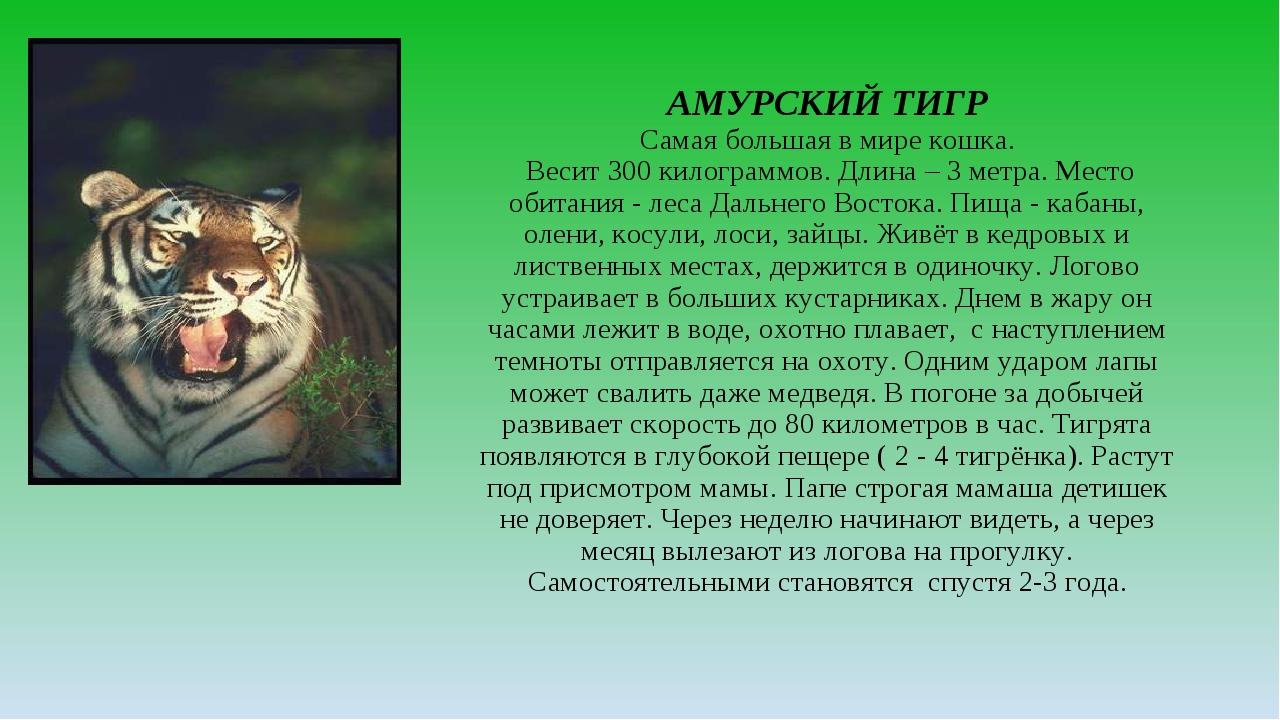 АМУРСКИЙ ТИГР Самая большая в мире кошка. Весит 300 килограммов. Длина – 3 ме...