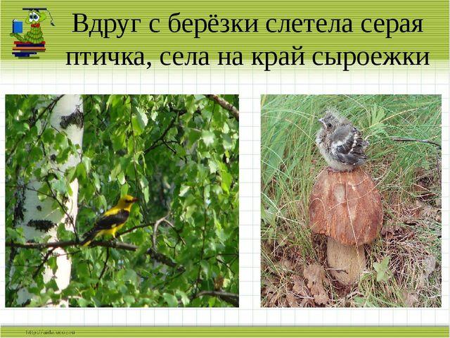 Вдруг с берёзки слетела серая птичка, села на край сыроежки