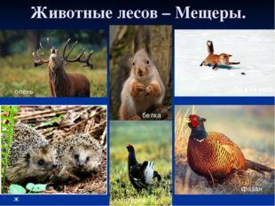 Животные лесов – Мещеры. белка Рыжая лиса фазан олень ёж тетерев