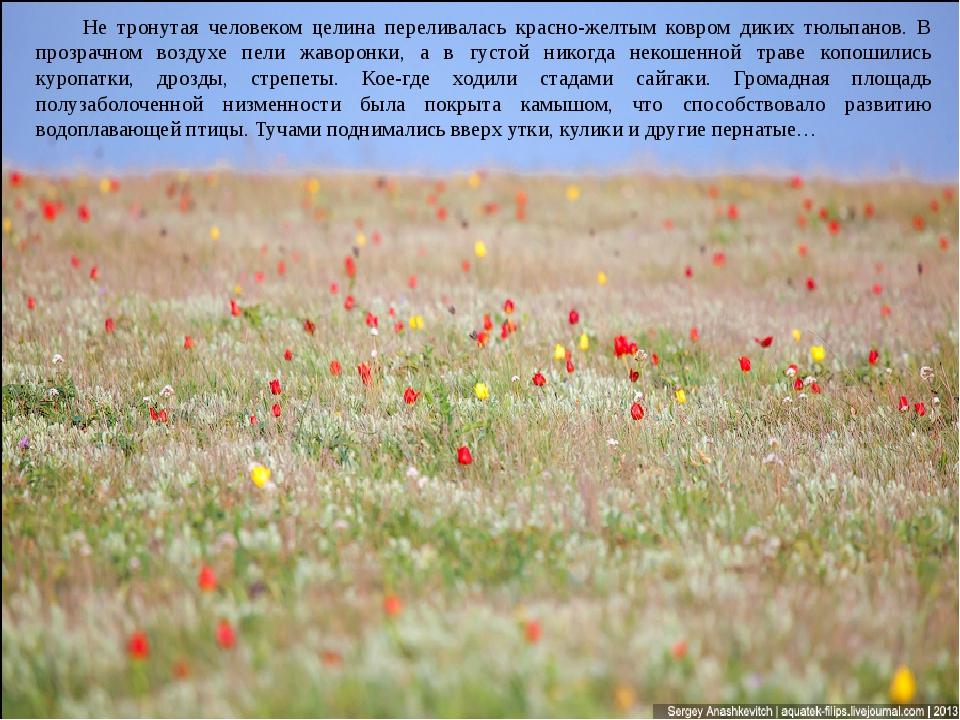 Не тронутая человеком целина переливалась красно-желтым ковром диких тюльпано...