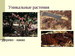 Уникальные растения Дерево - какао