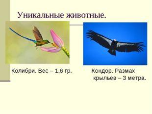Уникальные животные. Колибри. Вес – 1,6 гр. Кондор. Размах крыльев – 3 метра.