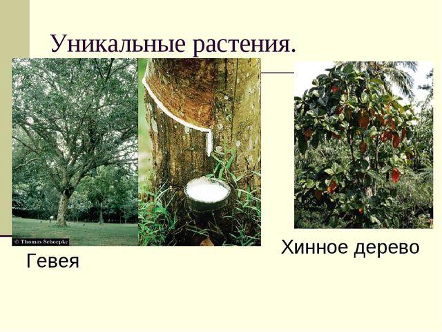 Уникальные растения. Гевея Хинное дерево