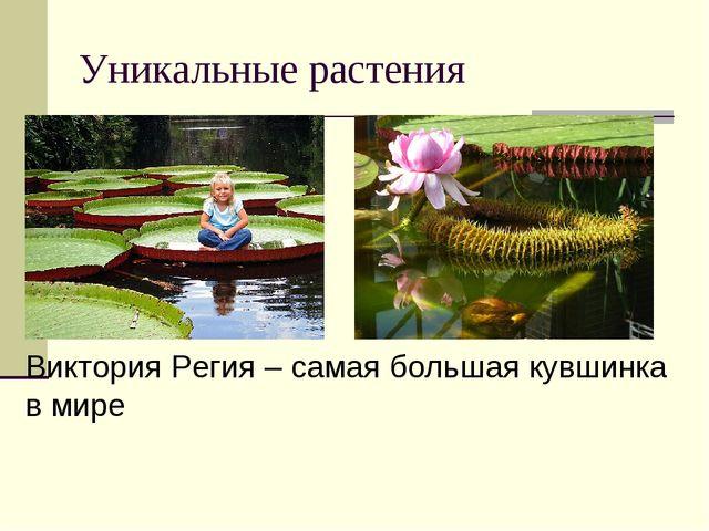 Уникальные растения Виктория Регия – самая большая кувшинка в мире