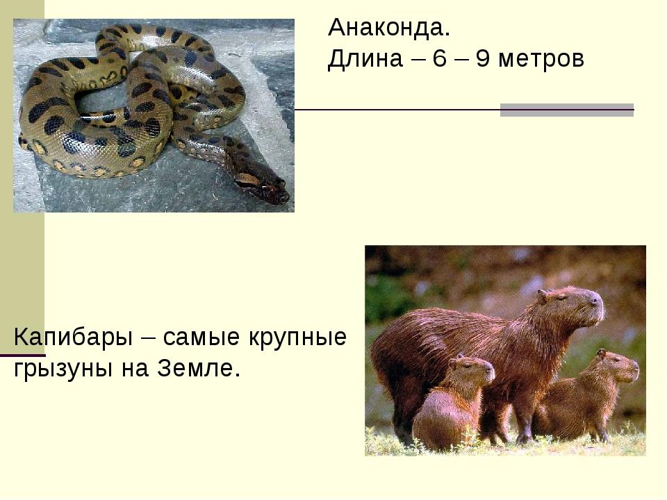 Анаконда. Длина – 6 – 9 метров Капибары – самые крупные грызуны на Земле.