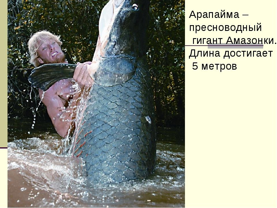 Арапайма – пресноводный гигант Амазонки. Длина достигает 5 метров