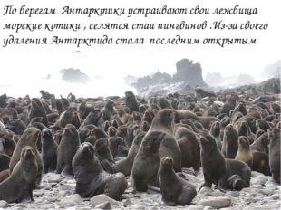 По берегам Антарктики устраивают свои лежбища морские котики , селятся стаи п
