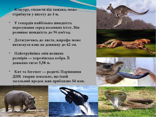 Кенгуру, тікаючи від хижака, може стрибнути у висоту до 3 м. У гепардів найб...