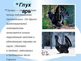 Глухарь Глухарь— самая крупная птица подсемейства тетеревиных. От других пре