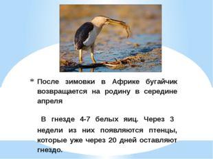 После зимовки в Африке бугайчик возвращается на родину в середине апреля В гн