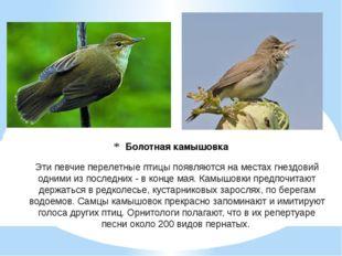 Болотная камышовка Эти певчие перелетные птицы появляются на местах гнездовий