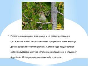 Гнездятся камышовки и на земле, и на ветвях деревьев и кустарников. А болотна