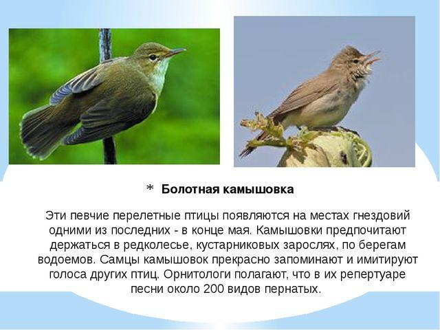 Болотная камышовка Эти певчие перелетные птицы появляются на местах гнездовий...