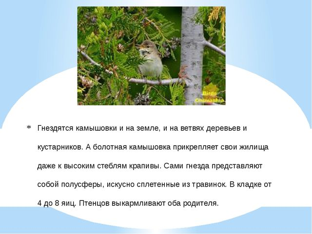 Гнездятся камышовки и на земле, и на ветвях деревьев и кустарников. А болотна...