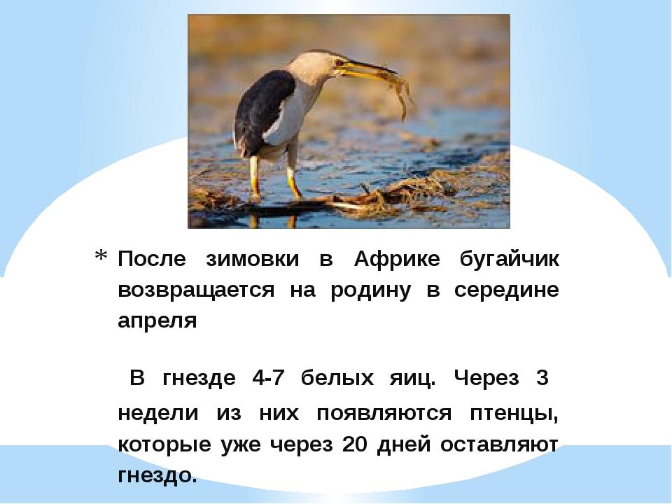 После зимовки в Африке бугайчик возвращается на родину в середине апреля В гн...