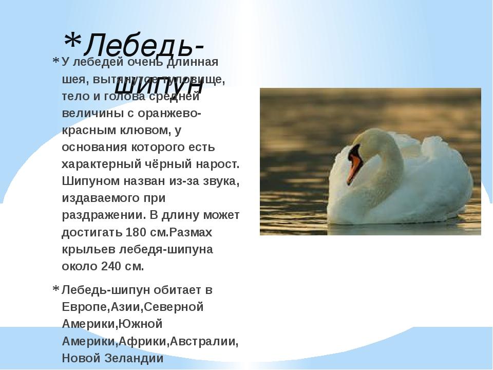 Лебедь-шипун У лебедей очень длинная шея, вытянутое туловище, тело и голова с...