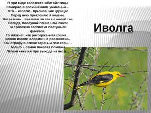 Я при виде золотисто-жёлтой птицы Замираю в восхищённом умиленьи… Это – иволг