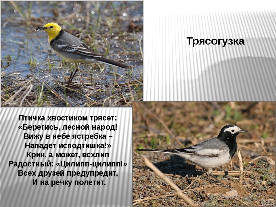 Птичка хвостиком трясет: «Берегись, лесной народ! Вижу в небе ястребка – Напа...