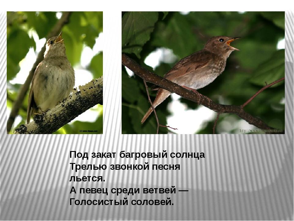 Под закат багровый солнца Трелью звонкой песня льется. А певец среди ветвей —...