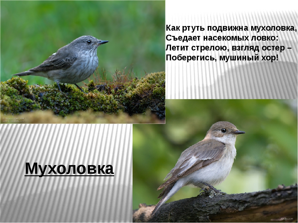 Мухоловка Как ртуть подвижна мухоловка, Съедает насекомых ловко: Летит стрело...