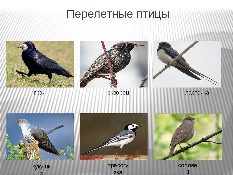 Перелетные птицы грач скворец трасогузка кукушка ласточка соловей