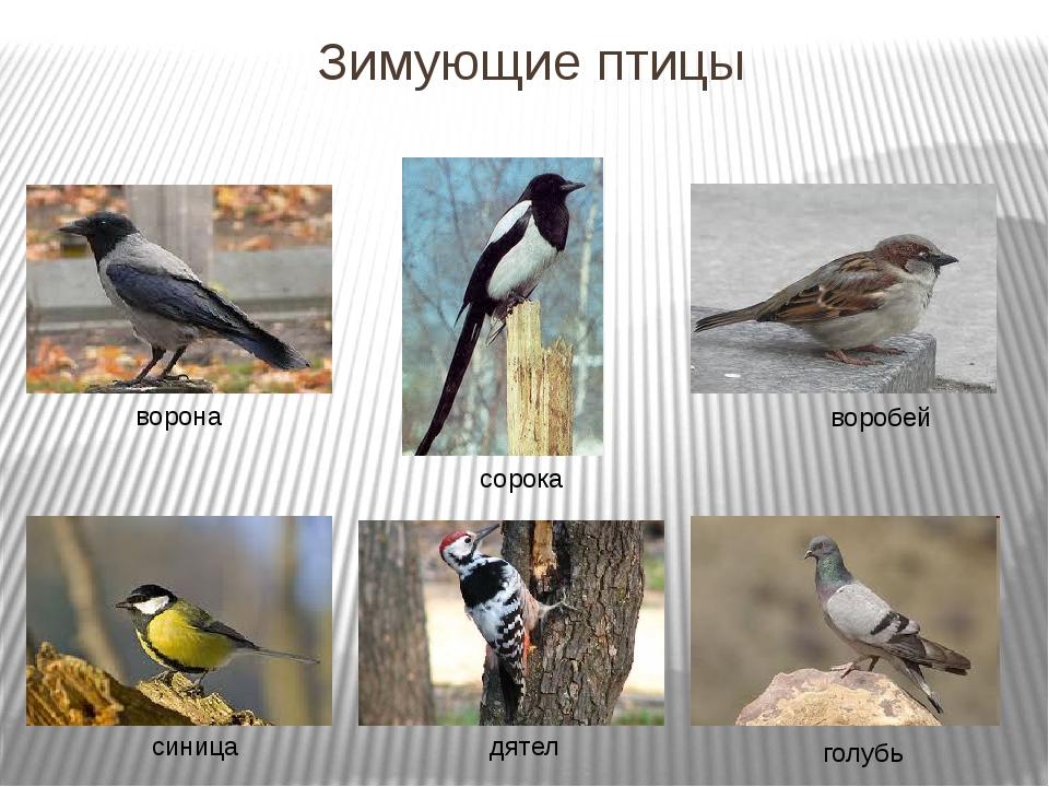 Зимующие птицы ворона сорока воробей синица дятел голубь