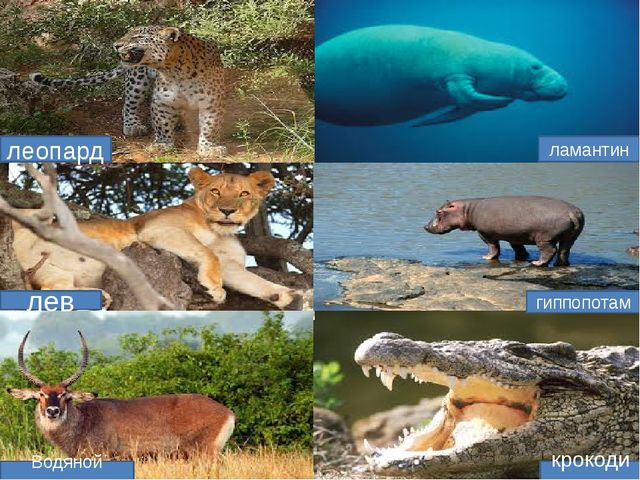 леопард ламантин гиппопотам крокодил Водяной козел лев