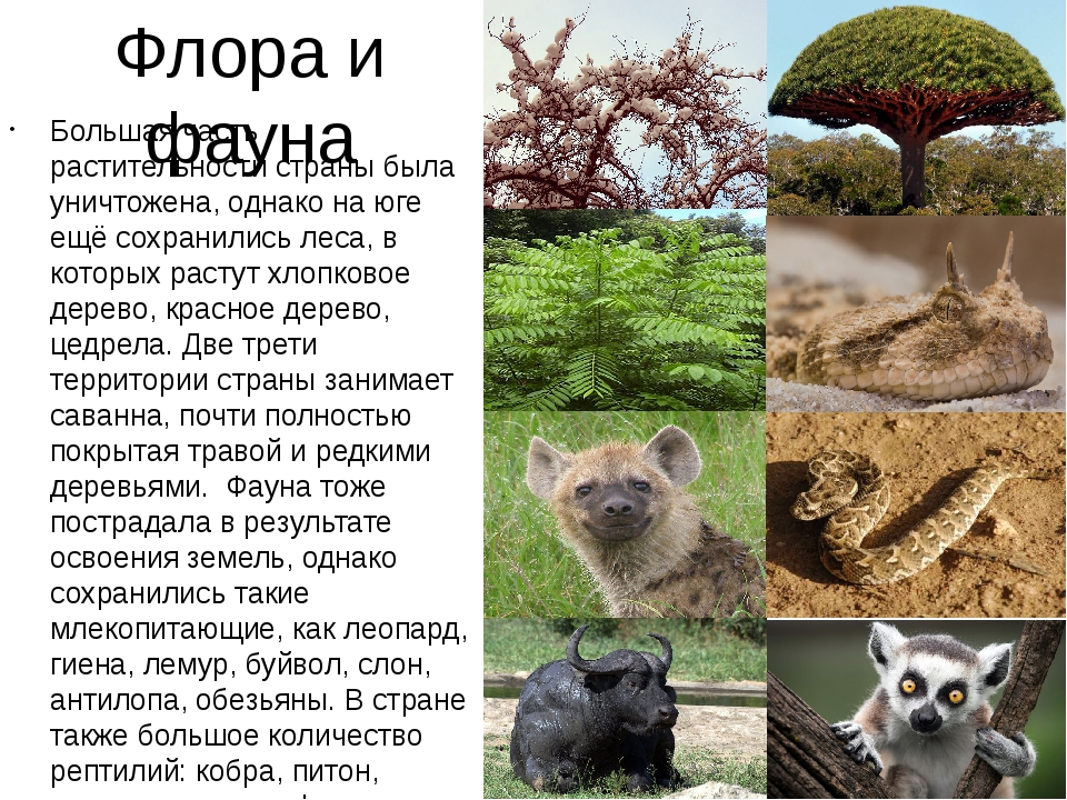 Флора и фауна Большая часть растительности страны была уничтожена, однако на...