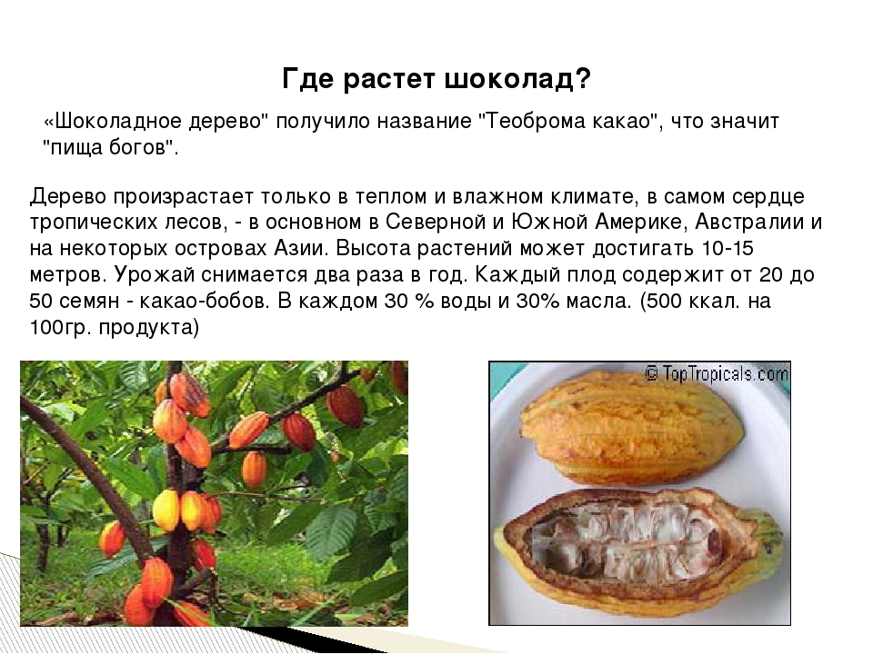 """Где растет шоколад? «Шоколадное дерево"""" получило название """"Теоброма какао"""", ч..."""