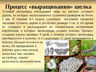 Процесс «выращивания» шелка Тутовый шелкопряд откладывает яйца на листьях тут