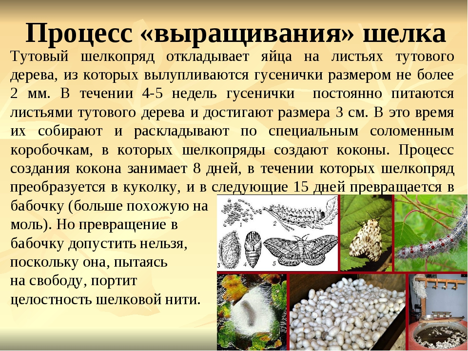 Процесс «выращивания» шелка Тутовый шелкопряд откладывает яйца на листьях тут...