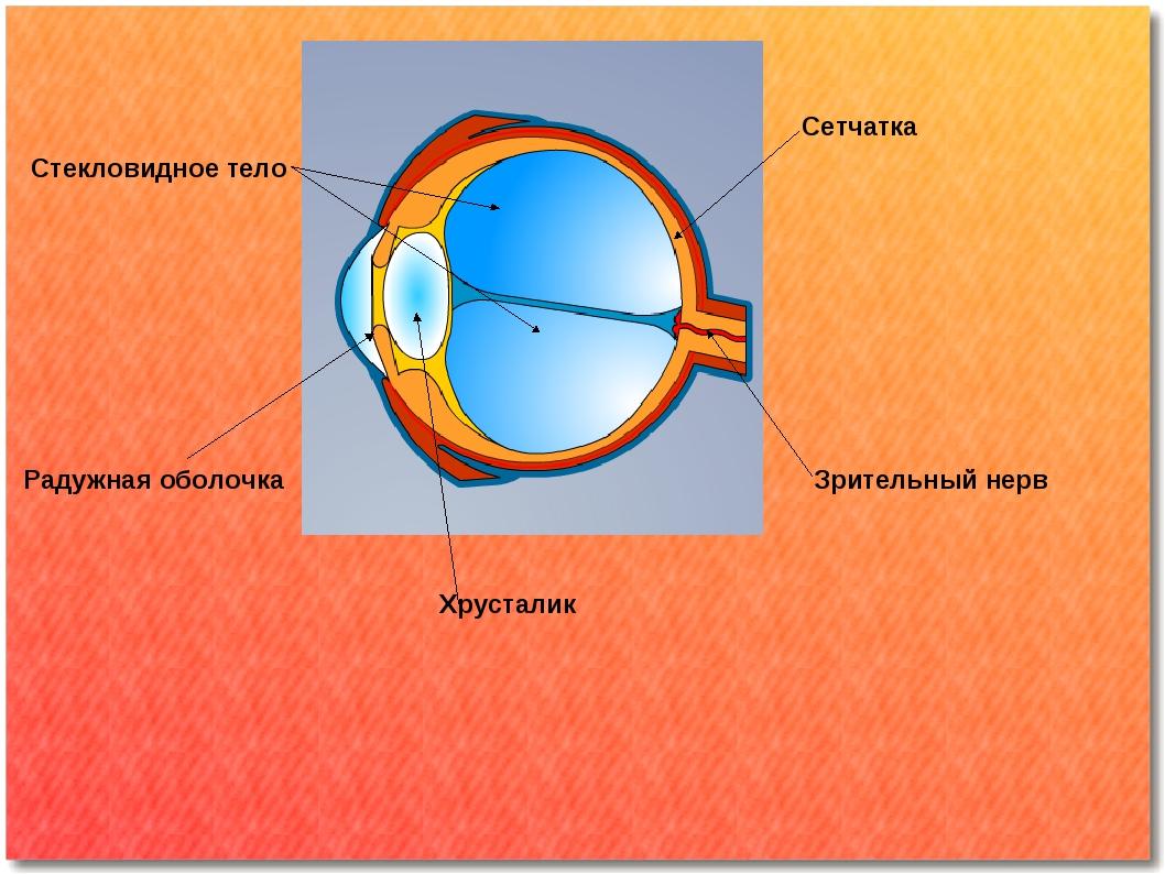 Радужная оболочка Хрусталик Стекловидное тело Сетчатка Зрительный нерв