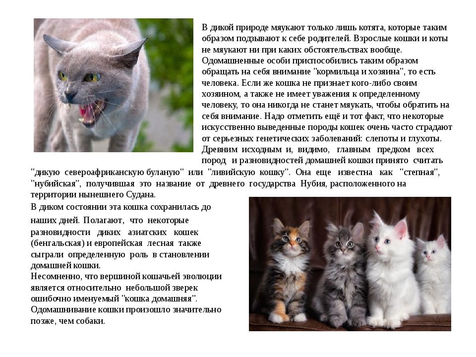 В дикой природе мяукают только лишь котята, которые таким образом подзывают к...