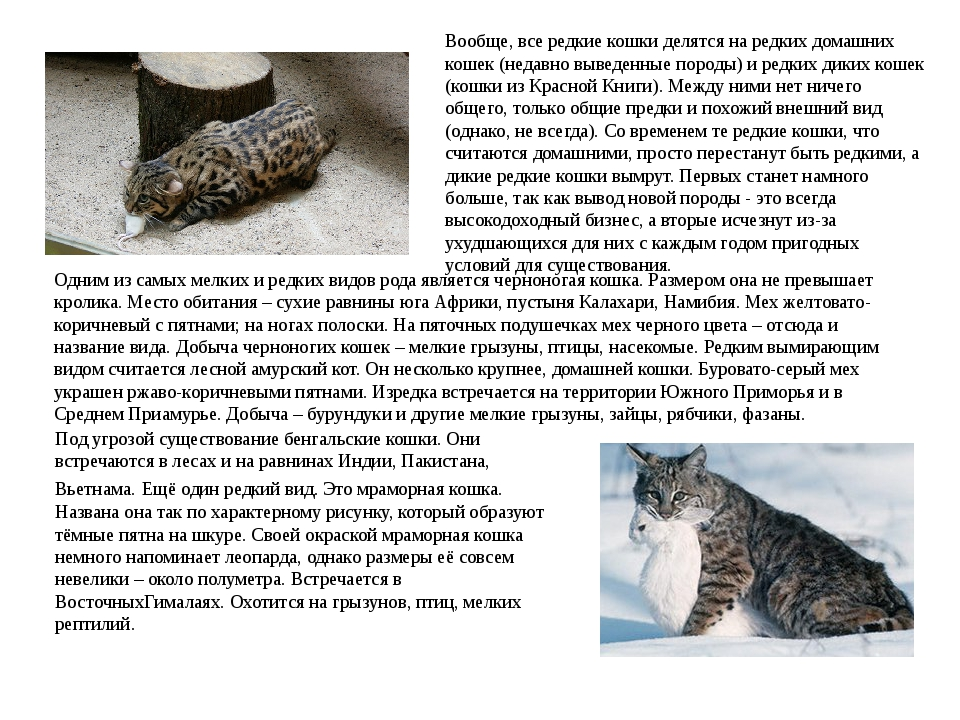 Вообще, все редкие кошки делятся на редких домашних кошек (недавно выведенные...