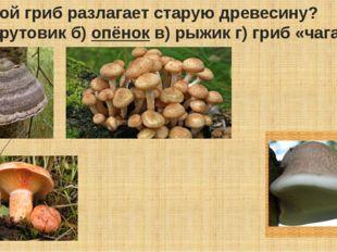 Какой гриб разлагает старую древесину? а) трутовик б)опёнокв) рыжик г) гриб
