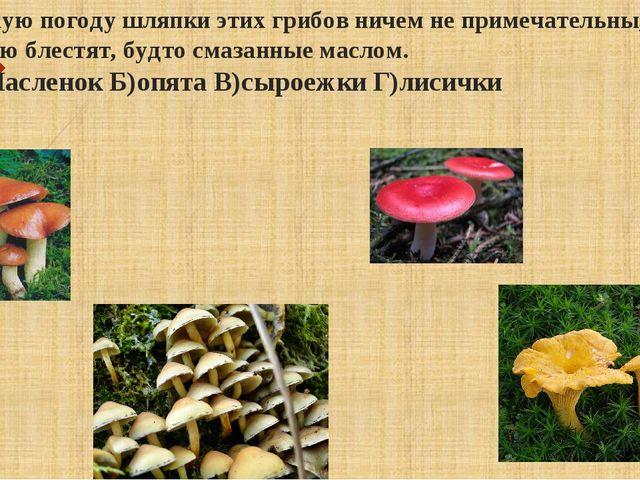 В сухую погоду шляпки этих грибов ничем не примечательны, а в сырую блестят,...