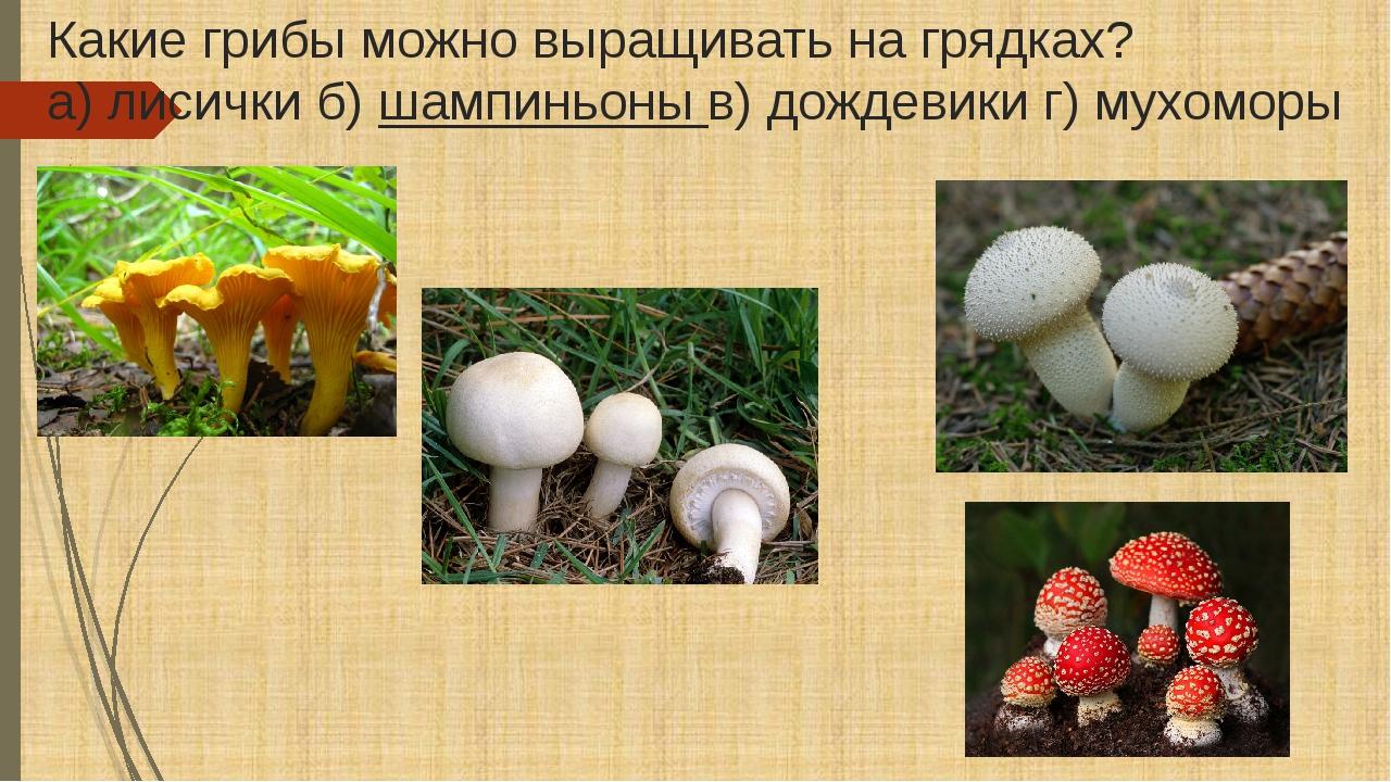 Какие грибы можно выращивать на грядках? а) лисички б)шампиньоныв) дождевик...