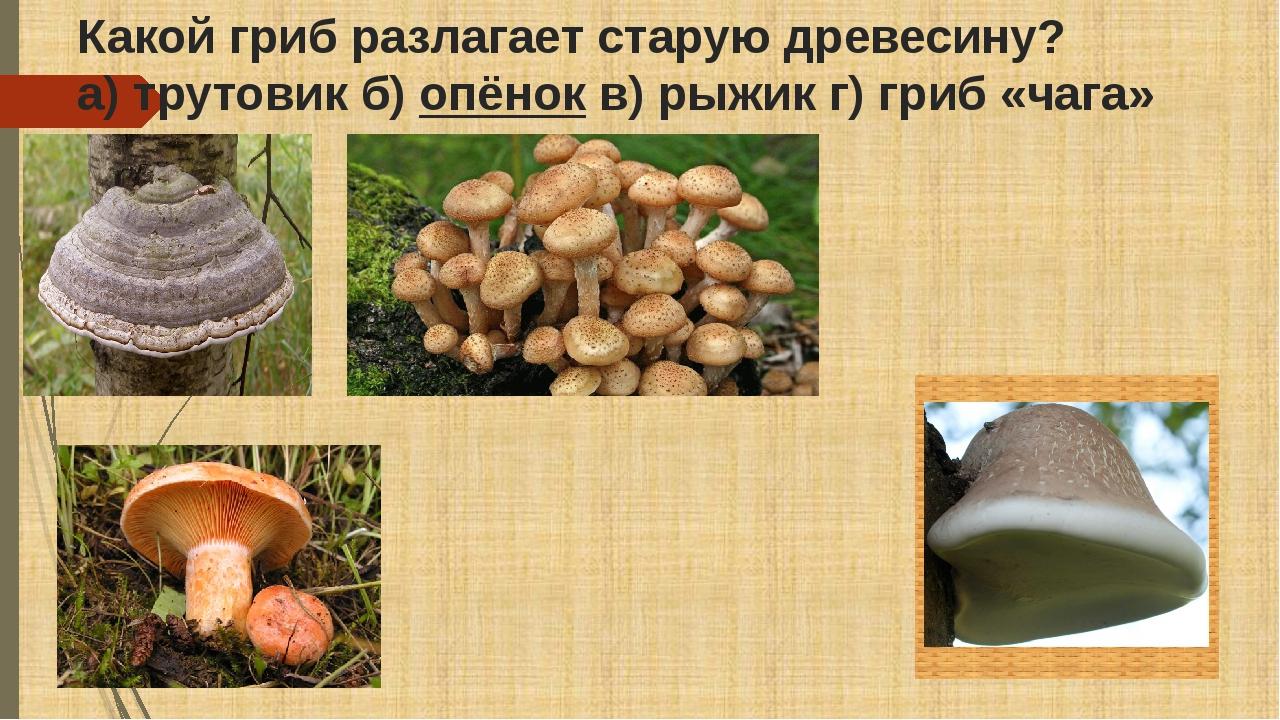 Какой гриб разлагает старую древесину? а) трутовик б)опёнокв) рыжик г) гриб...